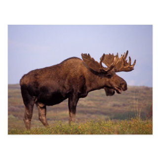 moose, Alces alces, bull with large antlers in Postcard