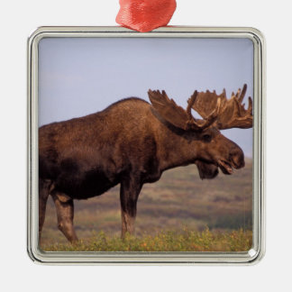 moose, Alces alces, bull with large antlers in Silver-Colored Square Decoration