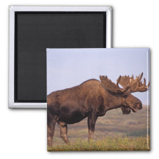 moose, Alces alces, bull with large antlers in Square Magnet