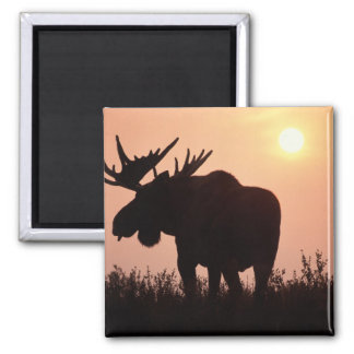 moose, Alces alces, bull with large antlers, Square Magnet