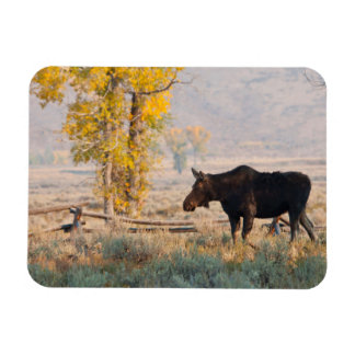Moose (Alces Alces) Cow In Sage Brush Rectangular Photo Magnet