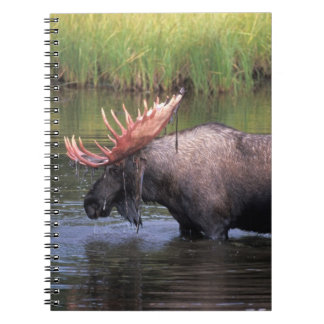 moose, bull in a kettle pond and feeds on note books