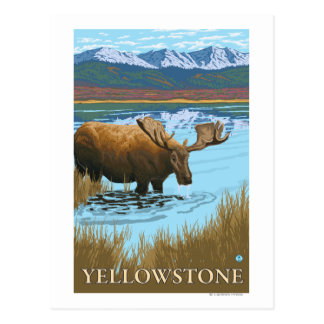 Moose Drinking at Lake - Yellowstone National Postcard