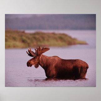 Moose in Lake Poster
