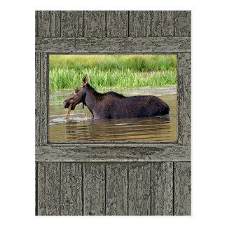 Moose in water postcard