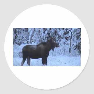 Moose loose in the snow round sticker