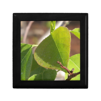 morning Dew on Chinese tallow leaf Gift Box