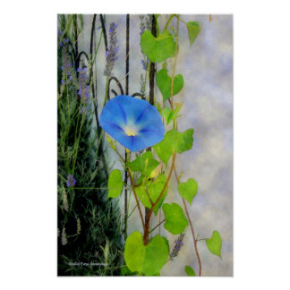 Morning Glory and Lavender Poster