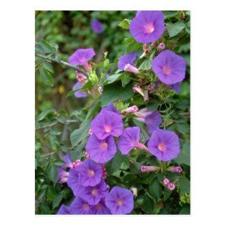 Morning glory, Deya, Mallorca flowers Postcard