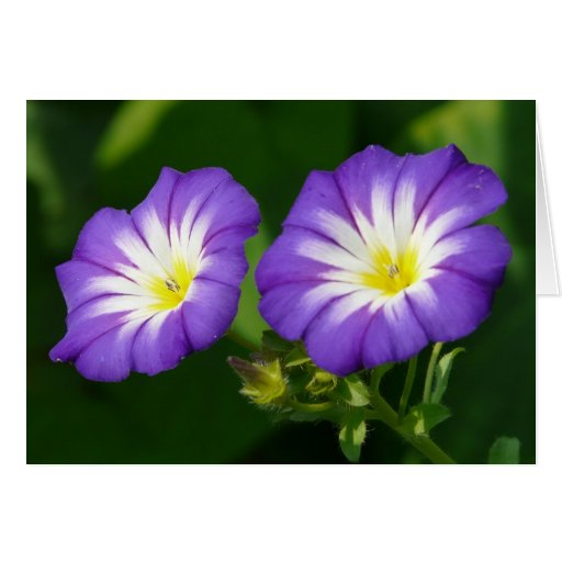 Morning glory flower cards