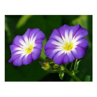 Morning glory flower post card
