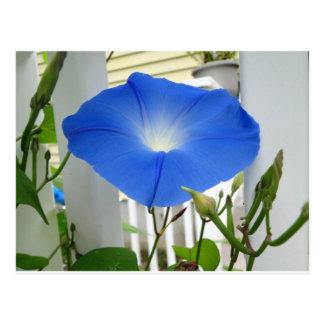Morning Glory Flower Postcard