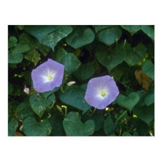 Morning Glory (Ipomoea Purpurea) flowers Postcard