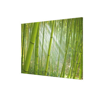 Morning sunlight filtering through bamboo gallery wrapped canvas