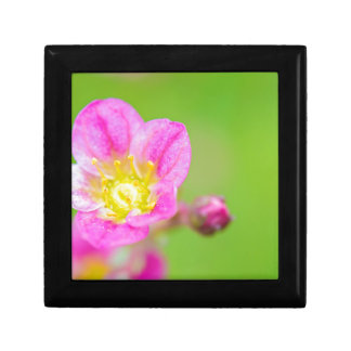 Mossy Saxifrage or rockfoil flowers macro view Gift Box