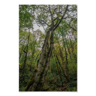Mossy Trees in Pacific Northwest Poster