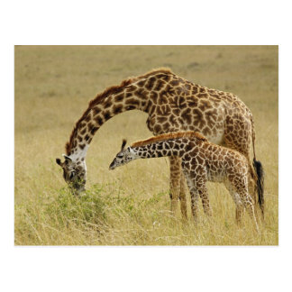 Mother and baby Masai Giraffe, Giraffa Postcard