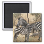 Mother and Baby Zebra Magnet Magnet