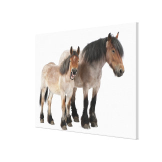 Mother and foal smiling, Belgian horse, Belgian Canvas Print