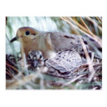 Mother Dove and Young Postcard