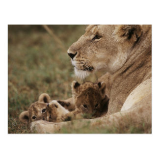 Mother Lion sitting with cubs Postcard