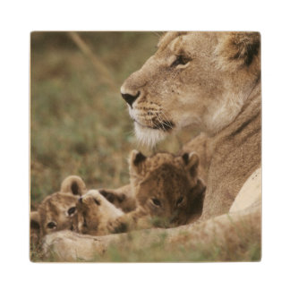 Mother Lion sitting with cubs Wood Coaster