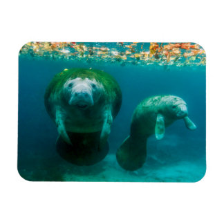Mother manatee with her calf in Crystal River Rectangular Photo Magnet