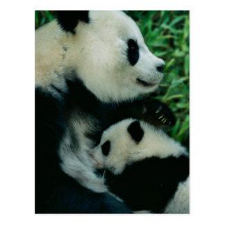 Mother panda nursing cub, Wolong, Sichuan, China Postcard