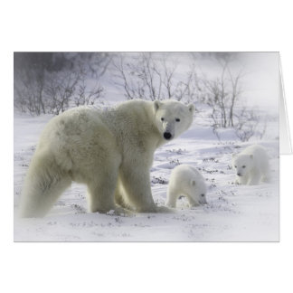Mother polar bear with young cubs greeting card