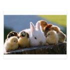 Mother Rabbit Adopts Some Chicks Postcard