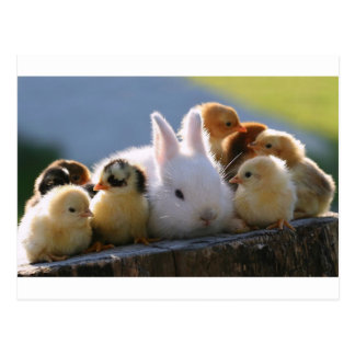 Mother Rabbit Adopts Some Chicks Postcard