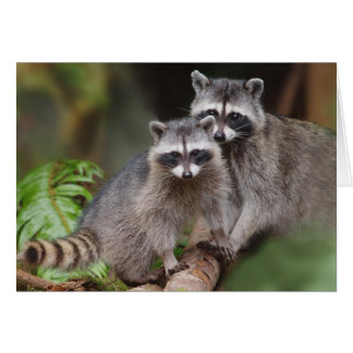 Mother Raccoon with Youngster (Procyon lotor ) Card
