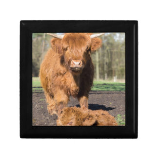 Mother scottish highlander cow near newborn calf gift box