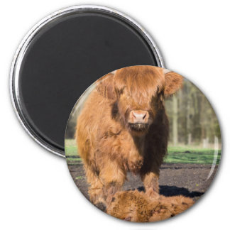 Mother scottish highlander cow near newborn calf magnet