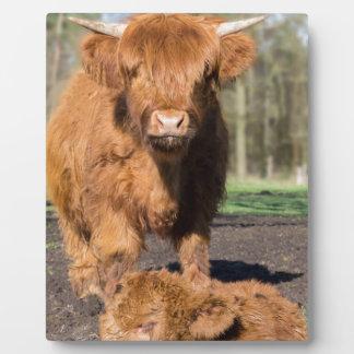 Mother scottish highlander cow near newborn calf plaque