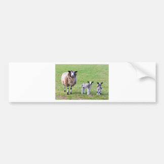 Mother sheep with two newborn lambs in spring bumper sticker