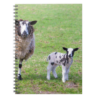 Mother sheep with two newborn lambs in spring notebooks