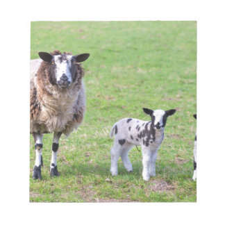 Mother sheep with two newborn lambs in spring notepad