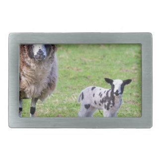 Mother sheep with two newborn lambs in spring rectangular belt buckle