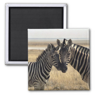 Mother zebra and young zebra magnet