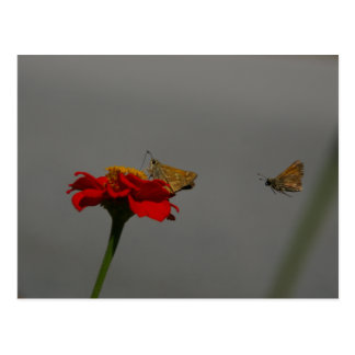Moths and Red Zinnia postcard