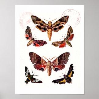 Moths, vintage illustrations of moths poster