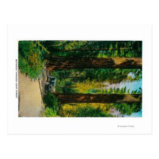 Motoring Through Giant Forest, Redwoods Postcard