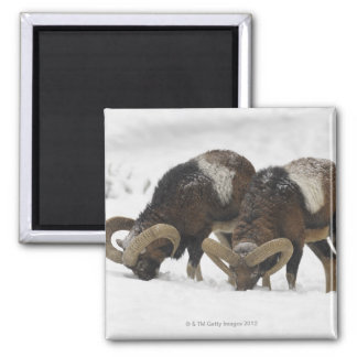 Mouflons in Winter, Germany Magnet