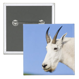 Mountain Goat Billy portrait at Logan Pass in 15 Cm Square Badge