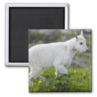 Mountain goat kid at Logan Pass in Glacier Square Magnet