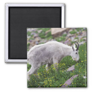 Mountain Goat, Oreamnos americanus, adult with 2 Square Magnet