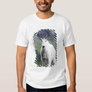 Mountain Goat, Oreamnos americanus, adult with Shirts