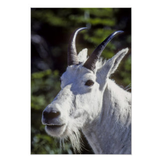 Mountain Goat, Oreamnos americanus, In Glacier Poster