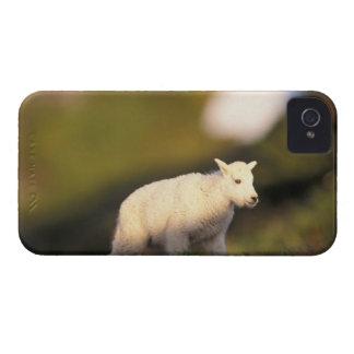 mountain goat, Oreamnos americanus, kid on a 2 Case-Mate iPhone 4 Case